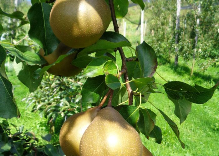 maura z'starzing familie hausjell birnensorte