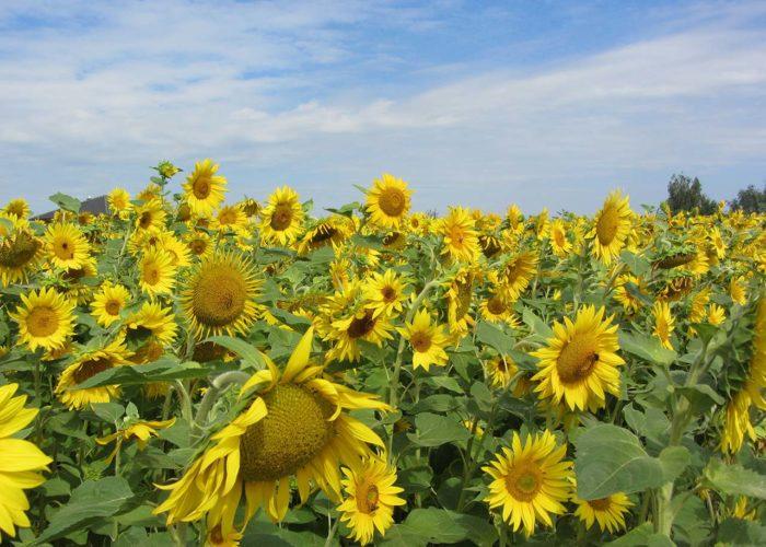 maura z'starzing familie hausjell sonnenblumen