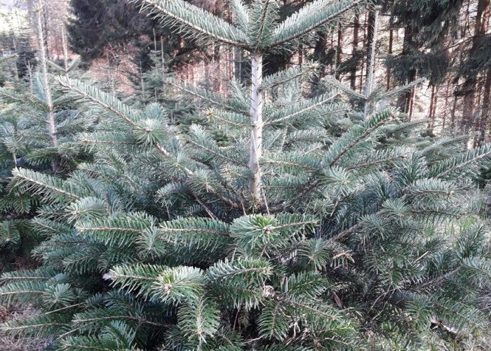 maura z'starzing familie hausjell christbäume